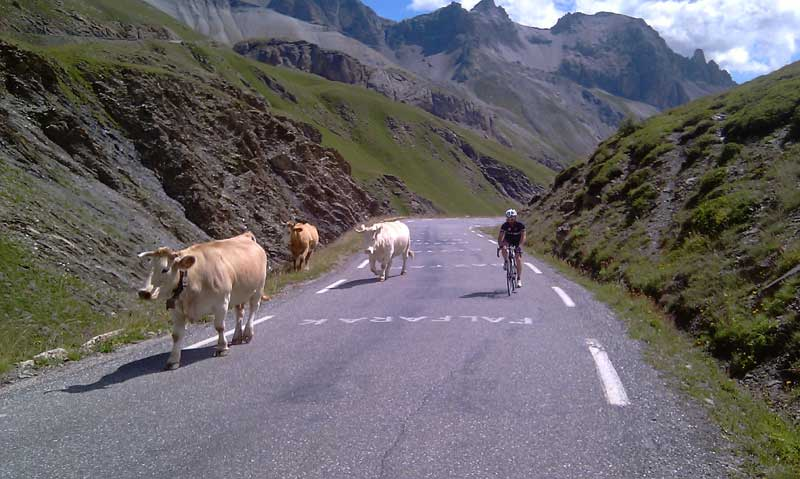 cows in middle of the road on the Galibier